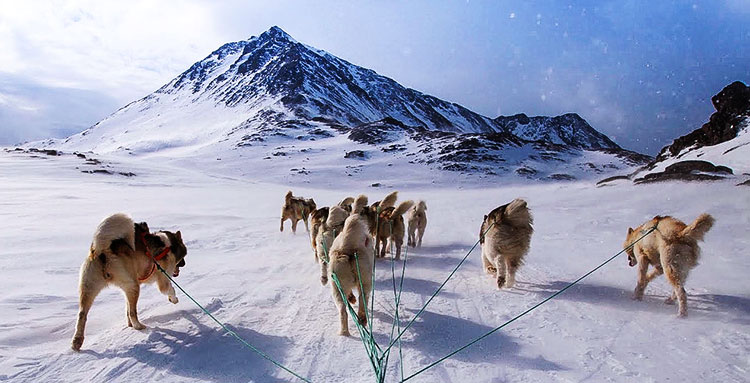 Greenland Huskies are tireless workers quite capable of various tasks
