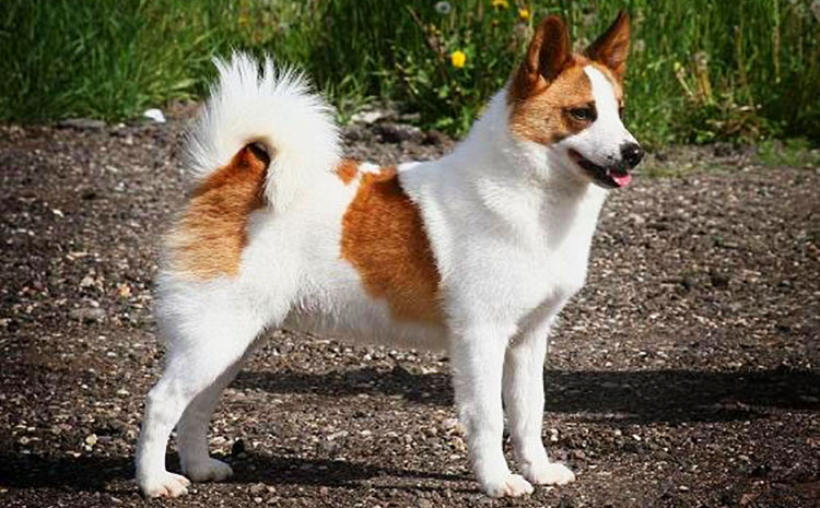 Norrbotten Spitz is smallest of all Nordic primitive hounds
