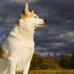 Norrbottenspets Dog Info And Characteristics