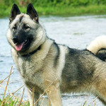 Norwegian Elkhound Dog Info And Characteristics