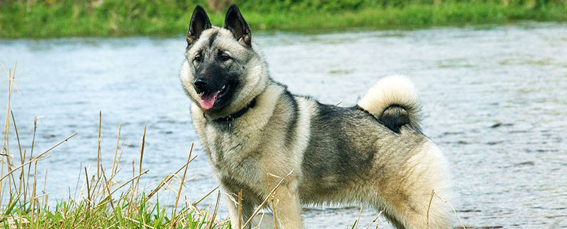 Norwegian Elkhound featured