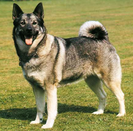 Norwegian Elkhound is a very intelligent working dog
