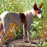 Podenco Canario Dog Information And Characteristics