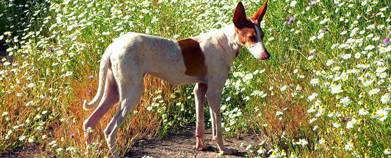 Podenco Canario featured image