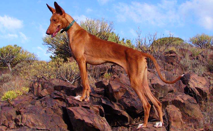 The Canary Islands Hound hunting skills are incredible!