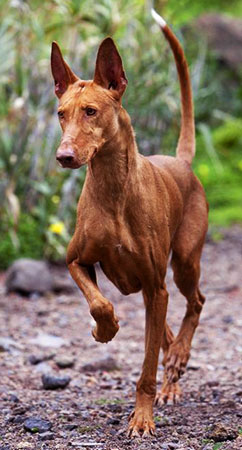 Podenco Canario is an agile, elegant and very intelligent hound