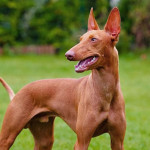 Cirneco dell'Etna Dog Info And Characteristics