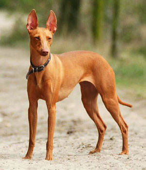 The Cirneco dell Etna is a primitive Sighthound originating from Sicily