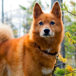 Finnish Spitz Dog Info And Characteristics