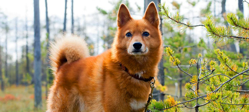 Finnish Spitz dog featured image