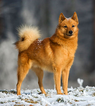 Finnish Spitz is a lively hunting dog of many qualities