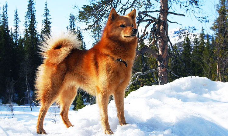 """Finsk Spets belongs to a group of hunting dogs known as """"bark pointers"""""""