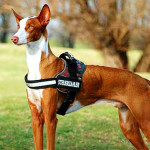 Ibizan Hound Dog Info And Characteristics
