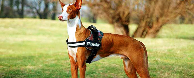 Ibizan Hound featured image