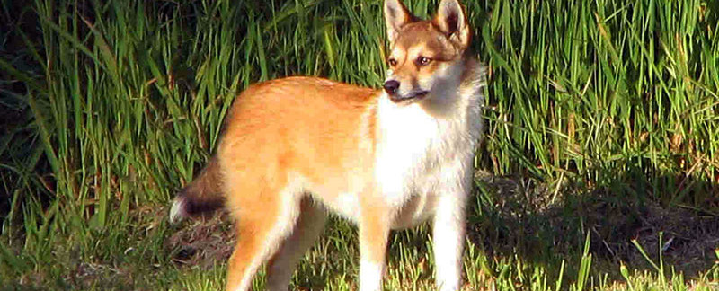 Norwegian Lundehund featured image