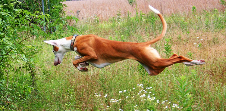 Podenco Ibicenco is an excellent hunter, who can easily cope with any kind of terrain
