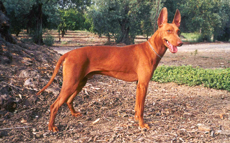 Sicilian Hound is an agile hunting dog specialized in hunting rabbits!
