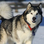 Information About Alaskan Malamute Dog Breed And Characteristics