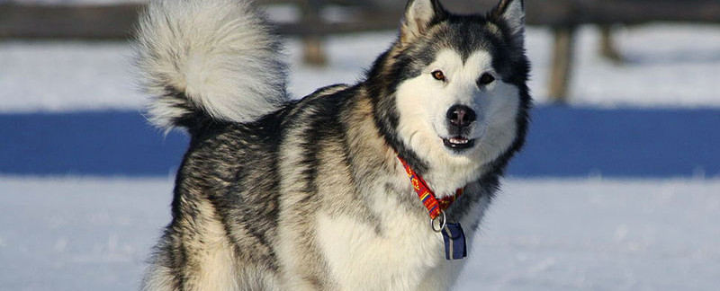 Alaskan Malamute Dog Breed | Information | Characteristics