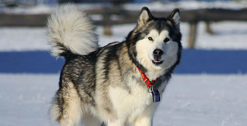 Alaskan Malamute Dog Breed Information Characteristics