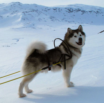 Alaskan Malamute is a beautiful sled dog with huge strength and energy