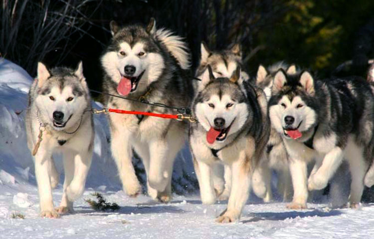 Malamutes are remarkable sled dogs, which can easily cope with the harshest of winter environments