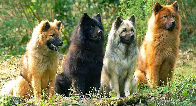 Eurasian Dogs come in many colors and motives