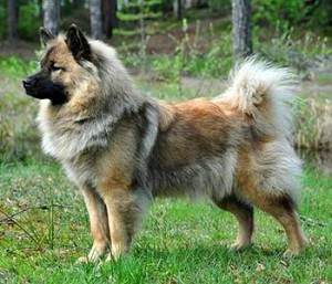 Eurasier is a lovely and devoted dog with a huge heart