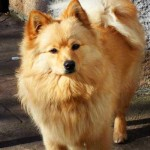 German Spitz Dogs Information And Characteristics