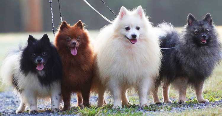 Kleinspitz dogs come in many color varieties