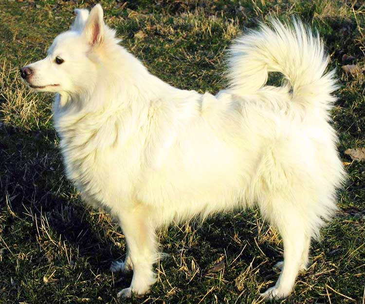 Grossspitz or Giant German Spitz is the biggest of three authentic German Spitzes