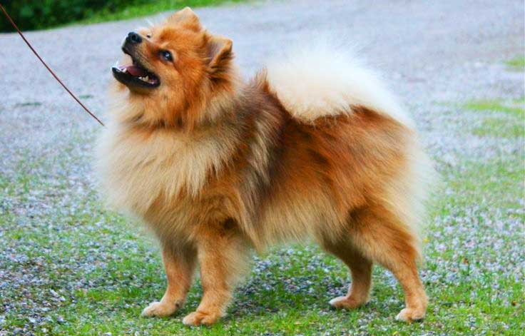 Mittelspitz or Standard German Spitz has many similarities to its ancestors - Nordic herding dogs