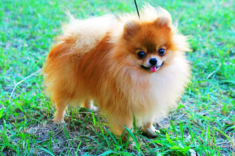Zwergspitz or Pomeranian is the smallest and youngest of all German Spitzes