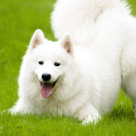 Samoyed Dog Breed Information And Characteristics