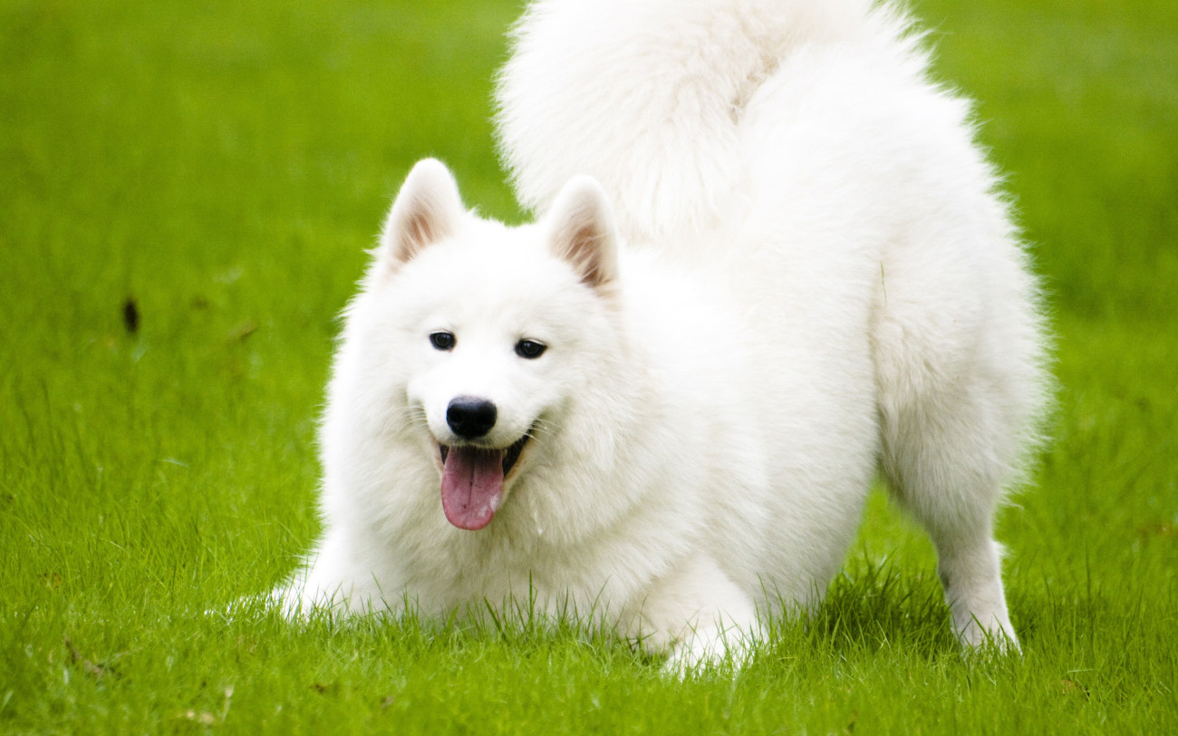 Samoyed featured image