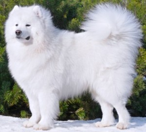 Samoyed is a beautiful working dog of many qualities