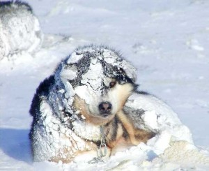 Spitz type dogs are used to live in harsh climates of the Arctic circle