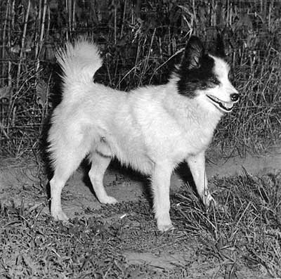Tahl-tan Bear Dog, primitive type dog from North America is now extinct