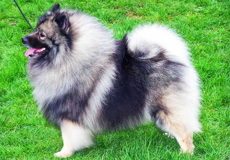 German Spitz Dog Breeds Info Characteristics Facts
