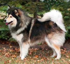 Wolf-sable Finnish Lapphund is quite reminiscent of a Keeshond