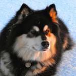 Finnish Lapphund Dog Breed Information And Characteristics