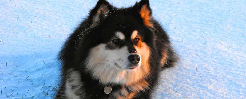 Finnish Lapphund featured image
