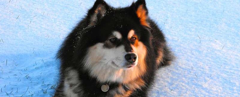 Finnish Lapphund featured image