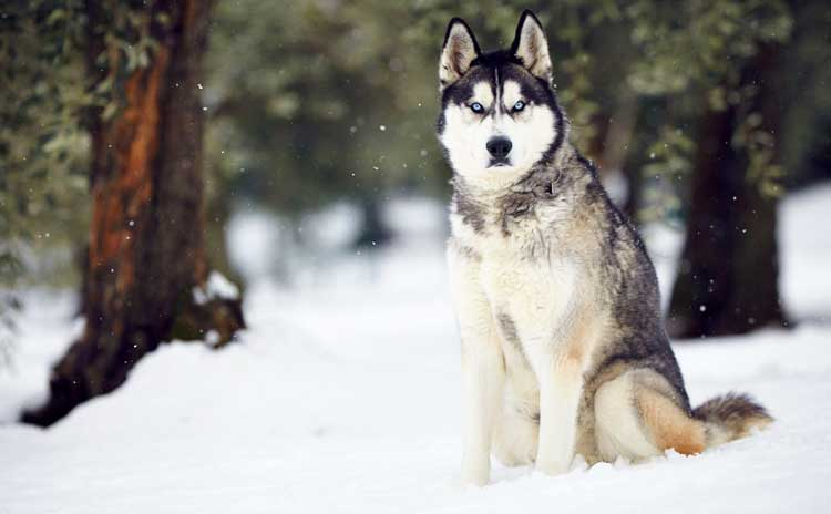 Husky is a famous polar dog of incredible beauty