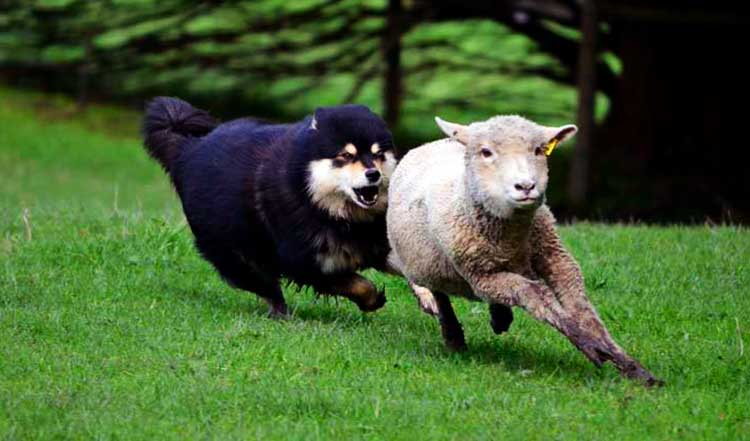 Lapinkoira is an excellent herding dog
