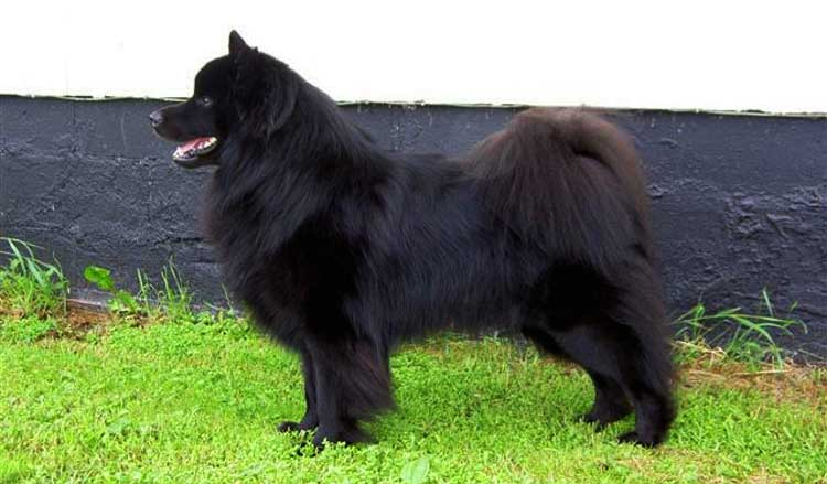 Lapponian Dog is an agile, strong, and smart dog, often maintaining a proud stance