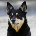 Lapponian Herder Dog Characteristics And Traits