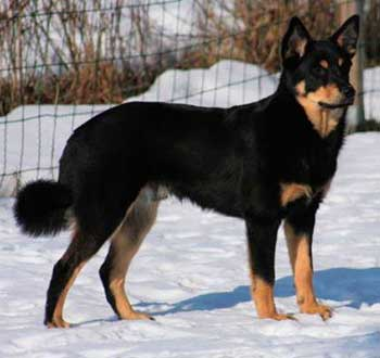 Lapsk Vallhund is an agile, strong and hardy dog
