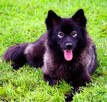 """Spectacles"" is one of usual facial markings of a Finnish Lapphund"