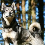 Swedish Elkhound Breed Information And Characteristics